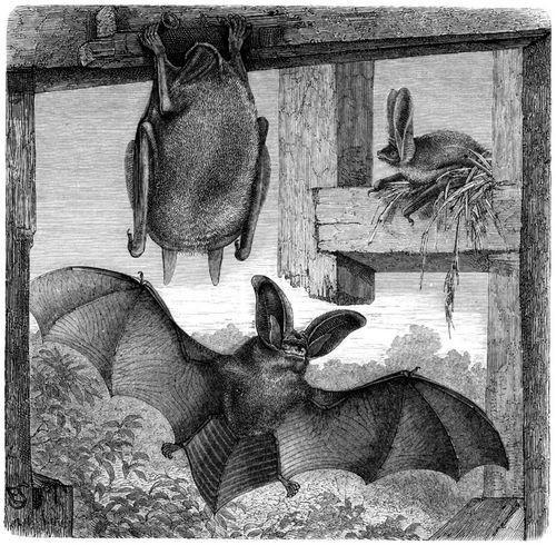 Braunes Langohr (Brehms Tierleben)