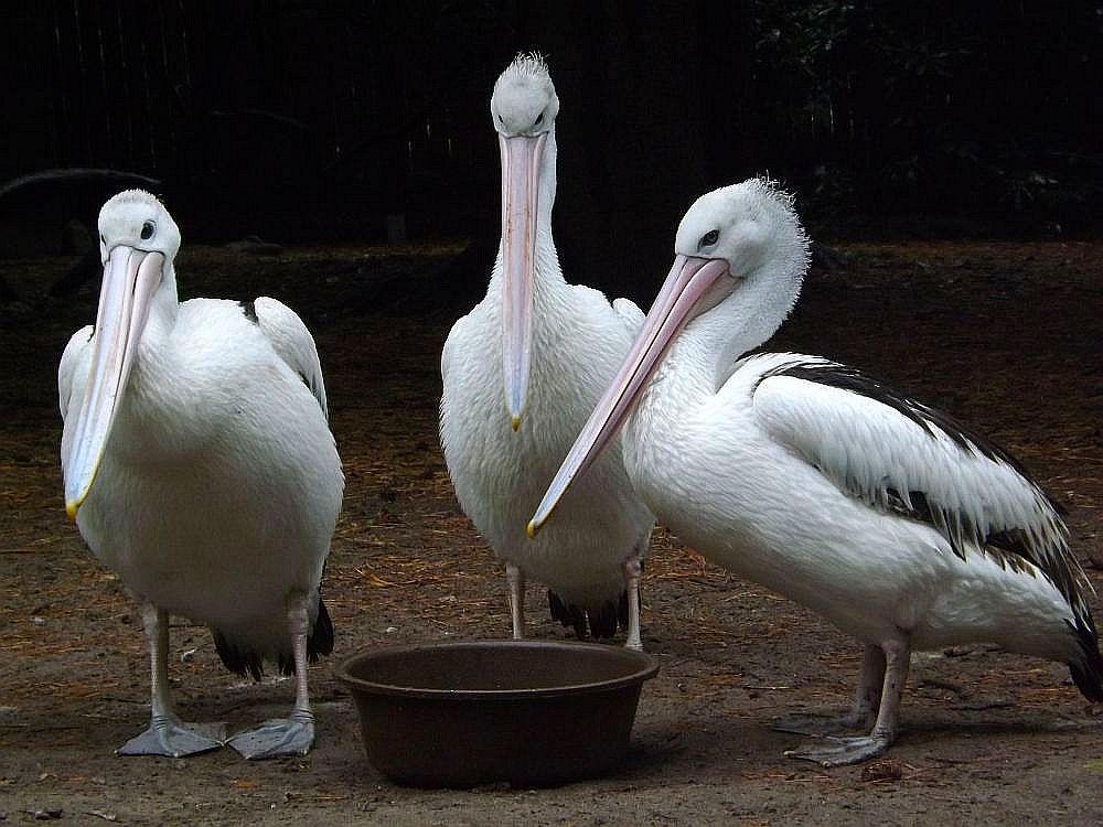 Brillenpelikan (Weltvogelpark Walsrode)