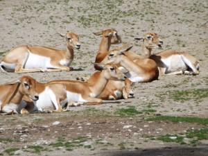 Hirschziegenantilope (Tierpark Hellabrunn)