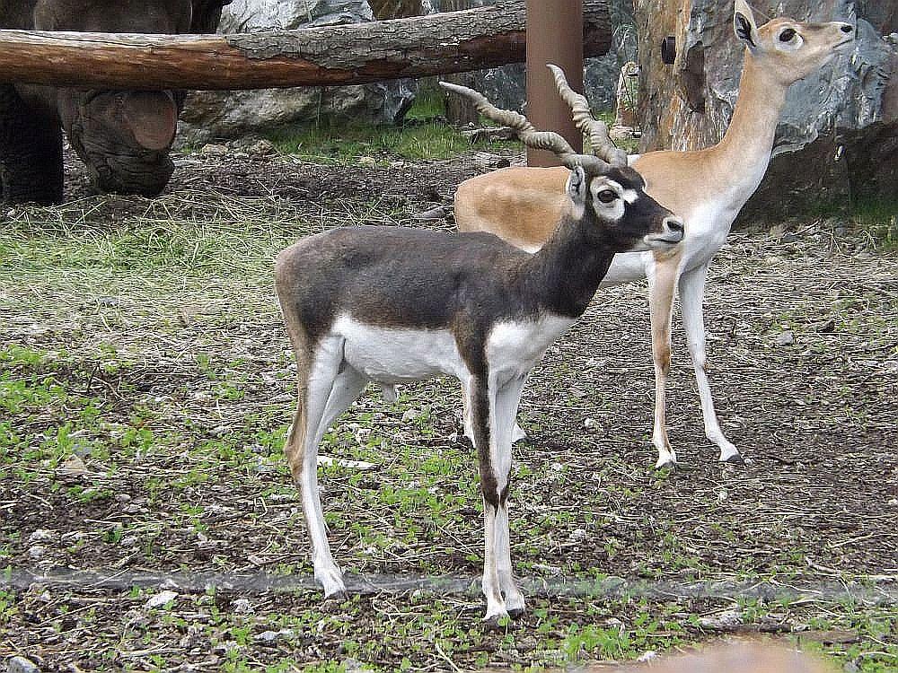 Hirschziegenantilope (Zoo Plzen)