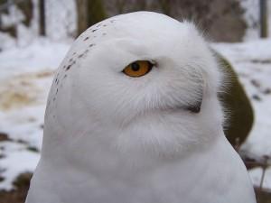 Schneeeule (Zoologischer Garten Hof)
