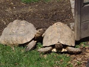 Spornschildkröte (Raritätenzoo Ebbs)