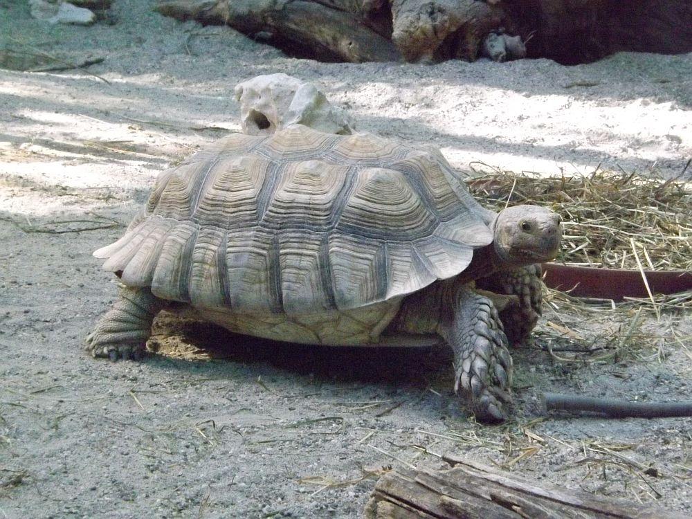 Spornschildkröte (Tierpark Hellabrunn)