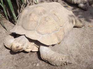 Spornschildkröte (Zoo Salzburg)