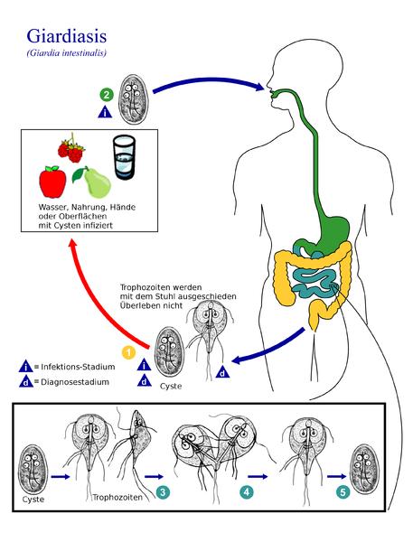 Lebenszyklus von Giardia intestinalis