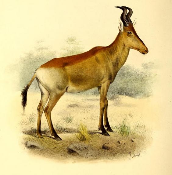 Lichtenstein-Antilope (Joseph Smit)