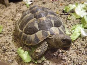 Griechische Landschildkröte (Vivarium Darmstadt)