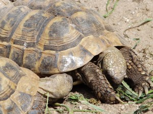 Griechische Landschildkröte (Jurazoo Neumarkt)