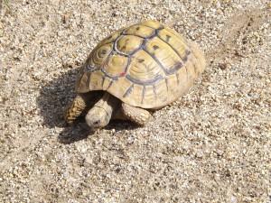 Griechische Landschildkröte (Tierarten Schönbrunn)