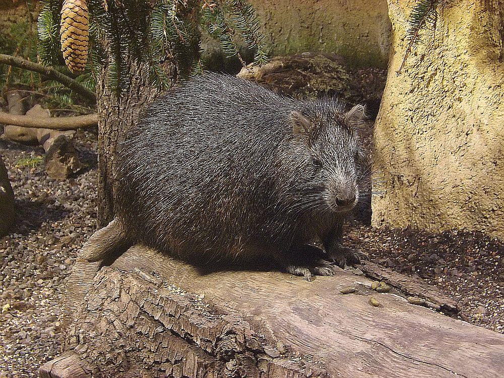 Kuba-Baumratte (Tierpark Hellabrunn)
