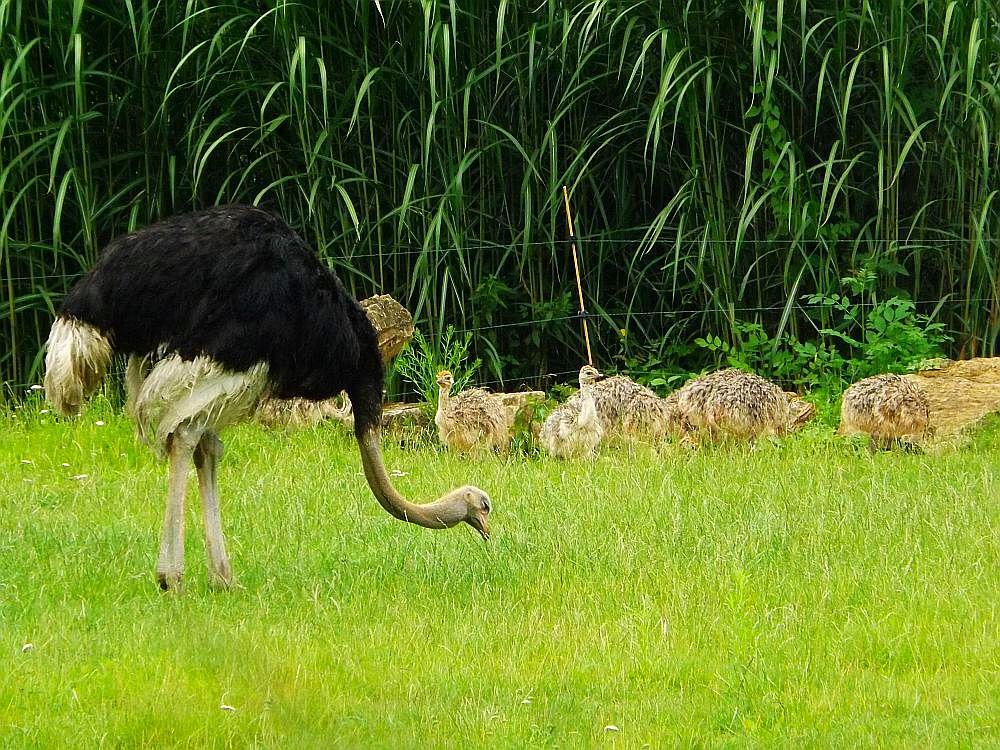 Südafrikanischer Blauhalsstrauß (Zoo Leipzig)