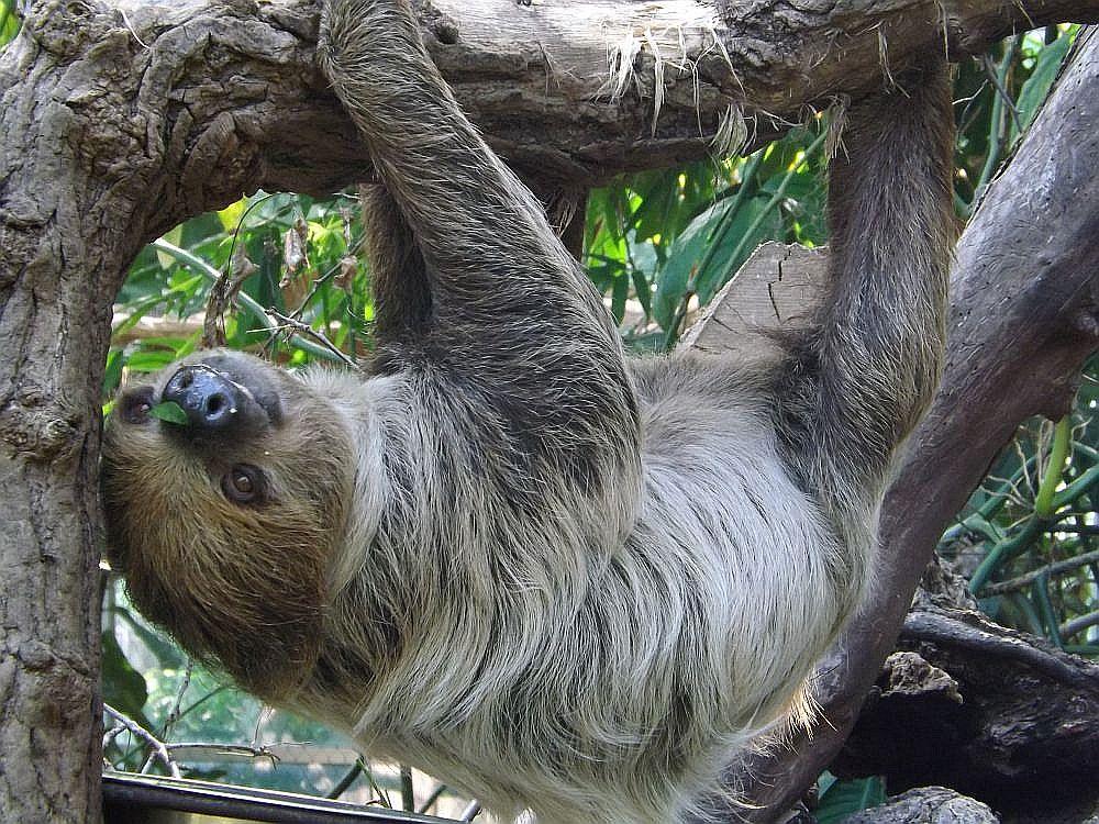 Zweifingerfaultier (Zoo Zlin)