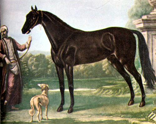 Byerly Turk, vermutlich einer der Vorfahren des Englischen Vollbluts (John Wootton)