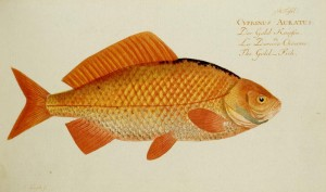 Goldfisch (Marcus Elieser Bloch)