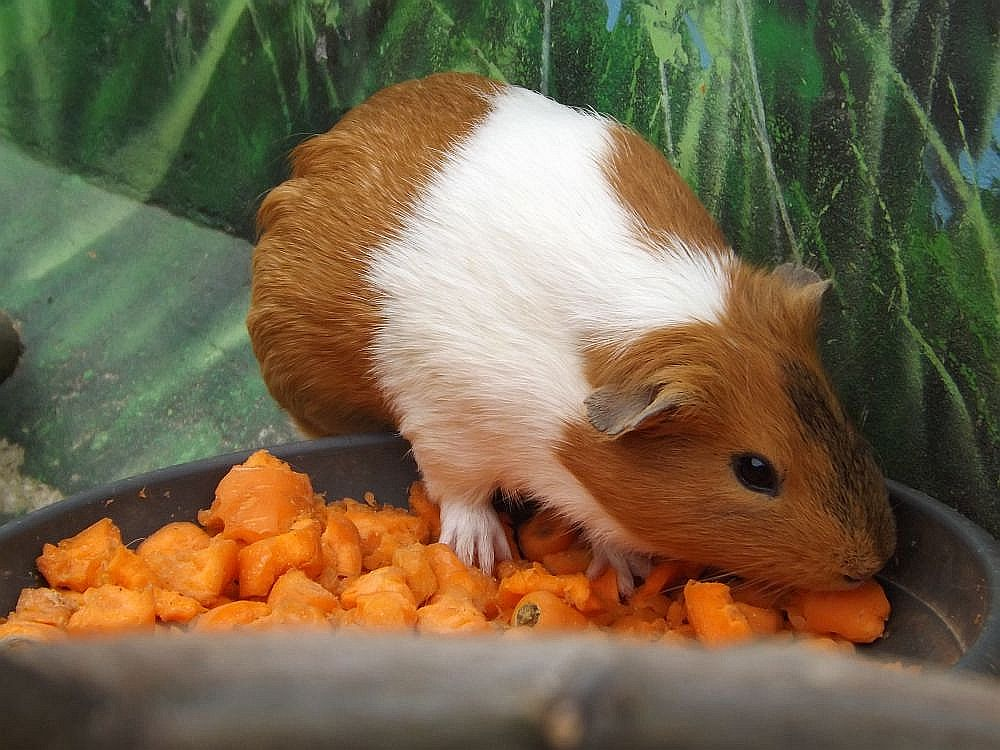 Hausmeerschweinchen (Haustierfarm Connewitz)