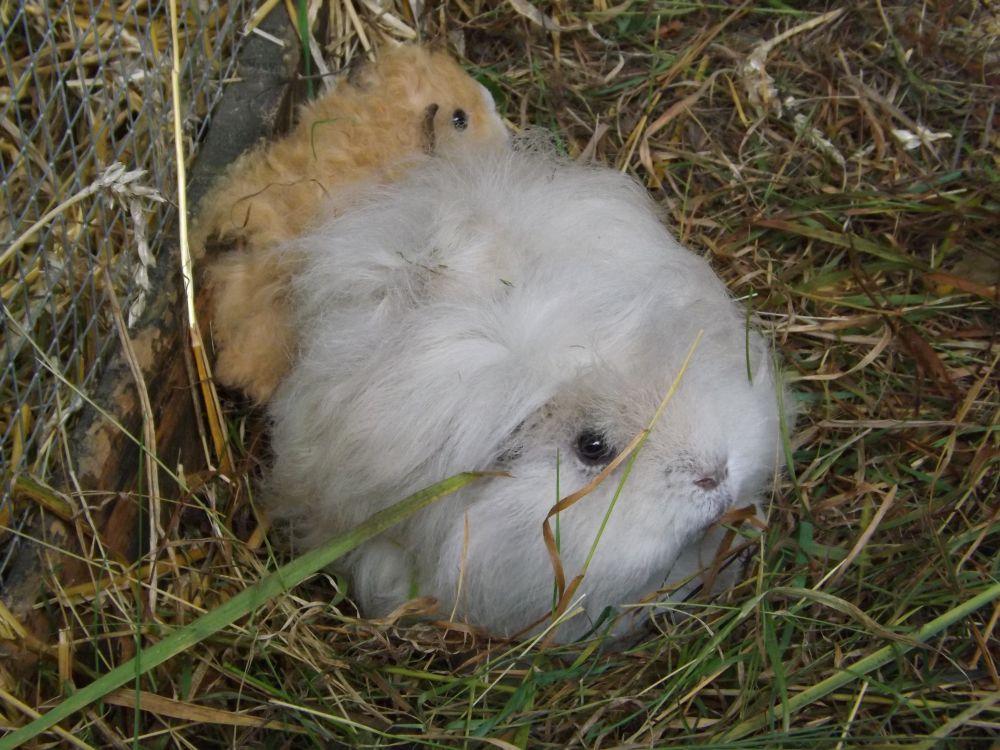 Hausmeerschweinchen (Tierpark Siebeneichen)