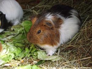 Hausmeerschweinchen (Vogelpark Abensberg)