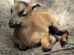 Kamerunschaf (Zoo Plzen)