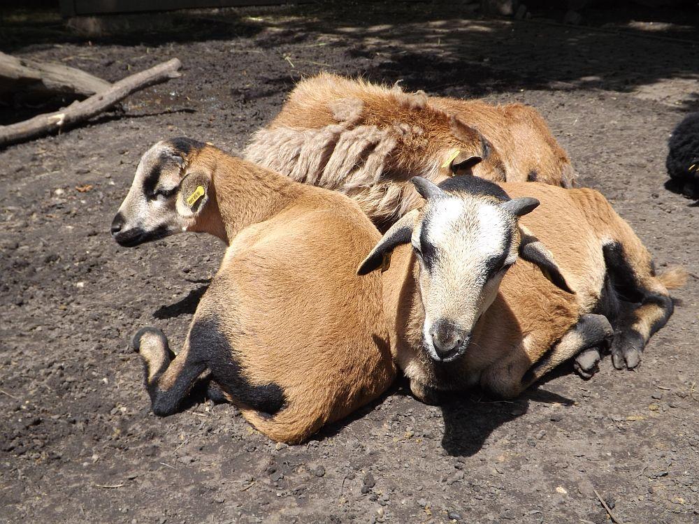 Kamerunschaf (Tierpark Senftenberg)
