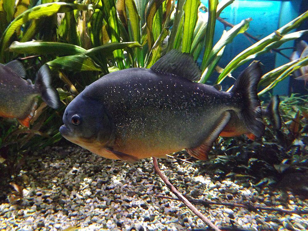 Roter Piranha (Tierpark Hellabrunn)