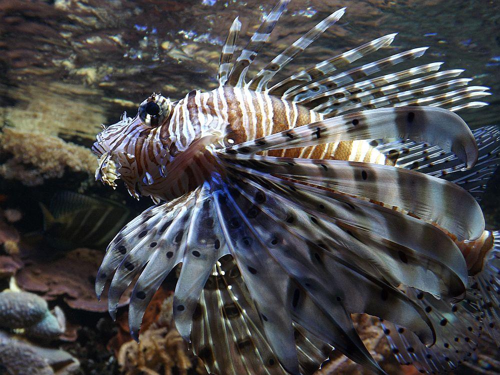 Rotfeuerfisch (Tiergarten Nürnberg)