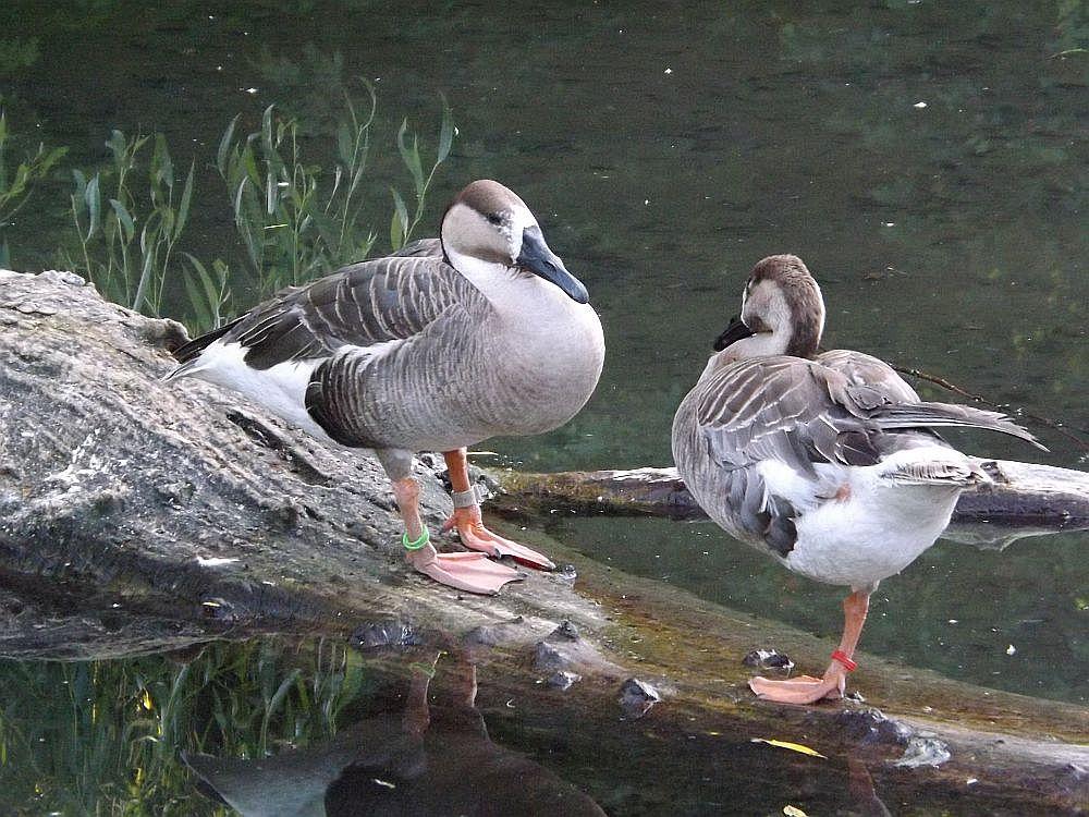 Schwanengans (Zoo Augsburg)