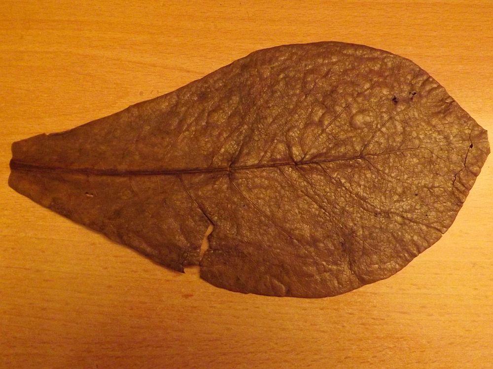 Seemandelbaumblatt