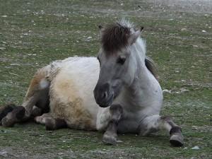 Tarpan/Heckpferd (Tierpark Hellabrunn)*