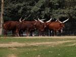Watussirind (Zoo Neuwied)