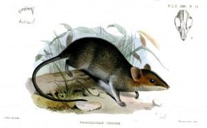Sminthopsis virginiae (Joseph Smit)