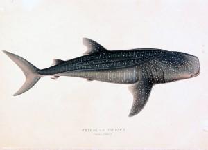 Walhai (Andrew Smith)