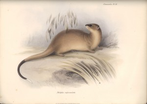 Dickschwanzbeutelratte (The Zoology of the Voyage of H.M.S. Beagle)