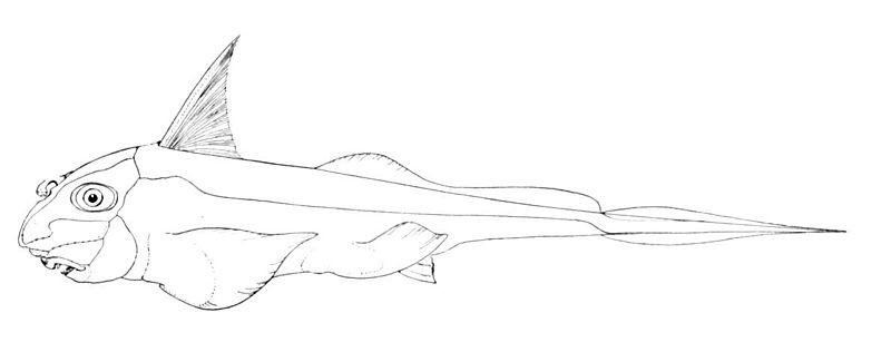 Hydrolagus colliei (Oceanic Ichthyology, 1895)