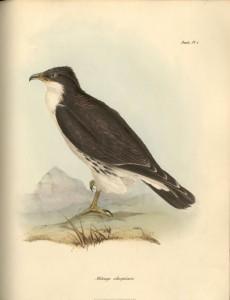 Weißkehlkarakara (John Gould)
