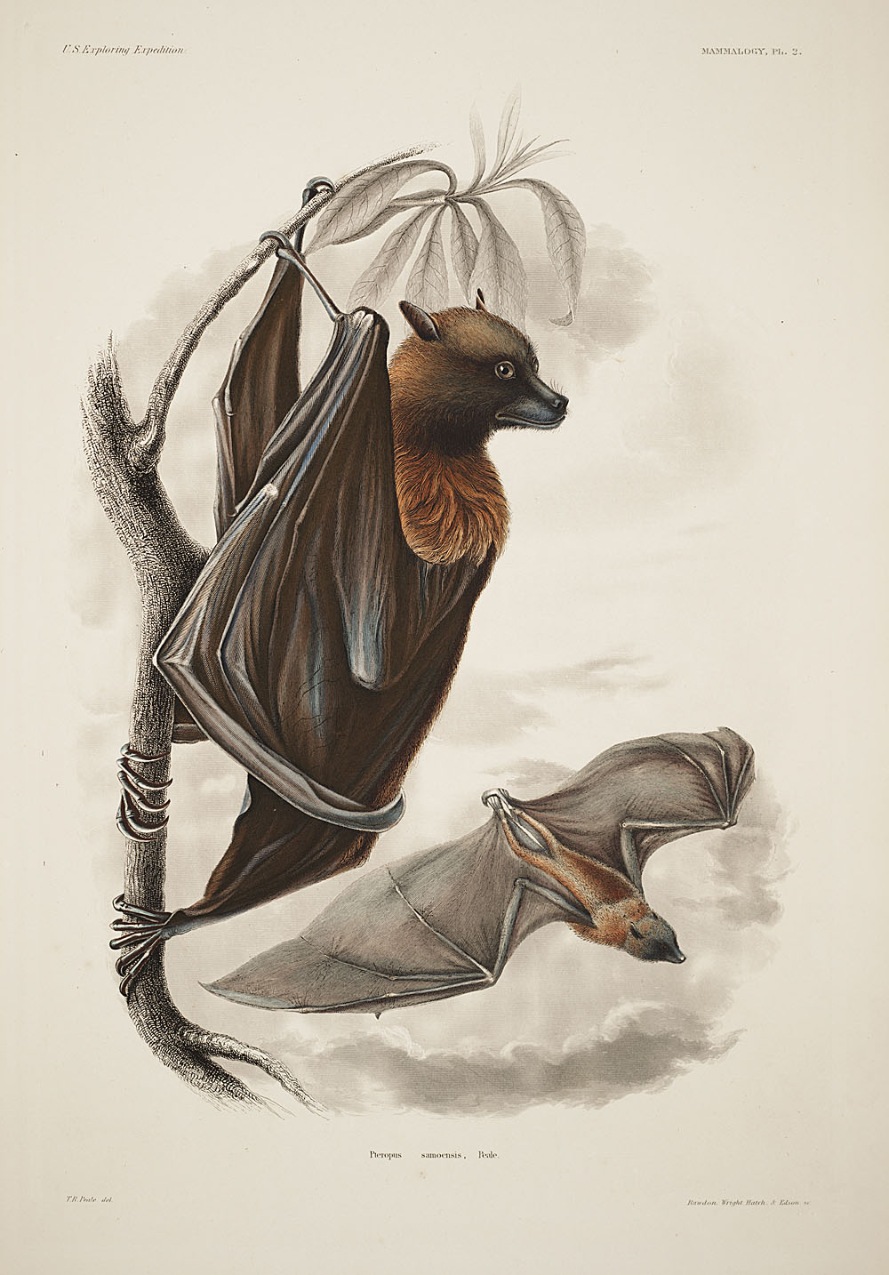 Samoa-Flughund (Cassin J. Mammalogy and Ornithology. Atlas. Philadelphia: C. Sherman and son, 1858, 466 p. Mammalogy, Plate 2.)