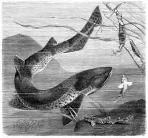 Großgefleckter Katzenhai (Brehms Tierleben)