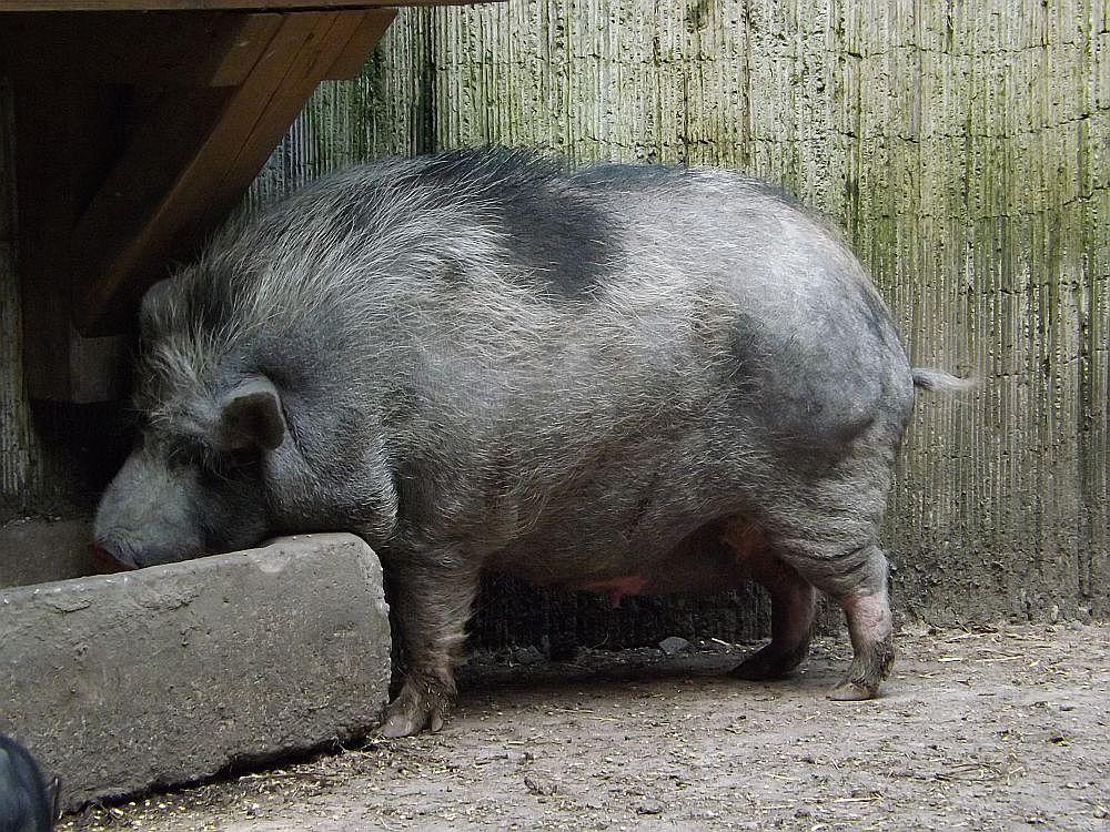 Hängebauchschwein (Wildfreizeitpark Oberreith)