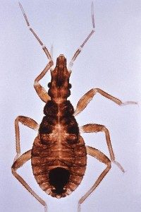 Triatoma infestans