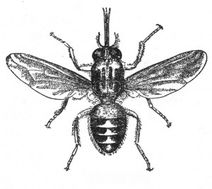 Tse-Tse-Fliege (Meyers Lexikon, Ausschnitt)