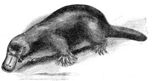 Schnabeltier (Cambridge Natural History_Mammalia, Frank E. Beddard)