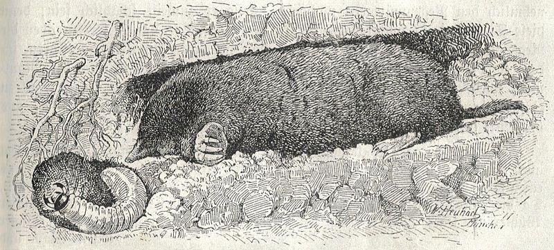 Europäischer Maulwurf (Walter Heubach)
