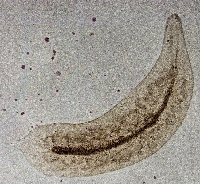 Glas-Strudelwurm (S. E. Thorpe)