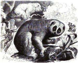 Sunda-Plumplori (Brehms Tierleben)