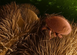 Varroamilbe auf Honigbiene (ARS)