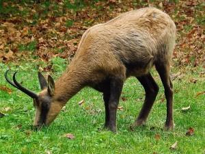 Abruzzengämse (Tierpark Hellabrunn)