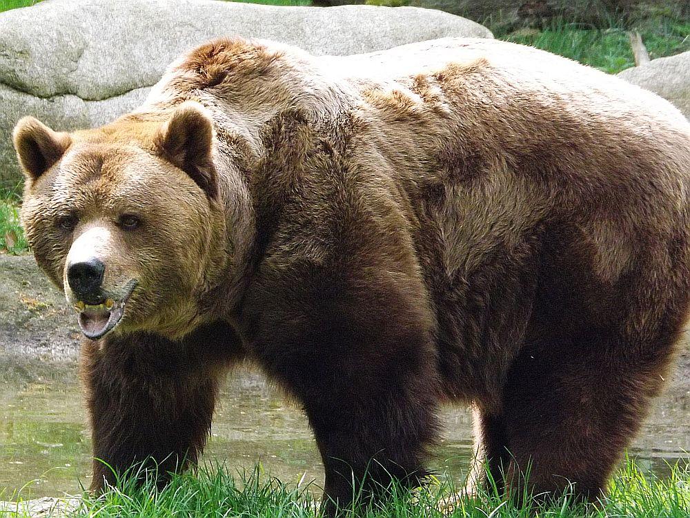 Braunbär (Tierpark Hexentanzplatz)