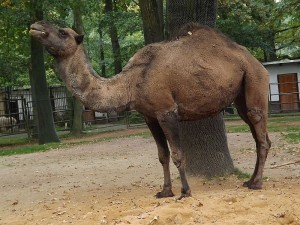 Dromedar (Tierpark Chemnitz)