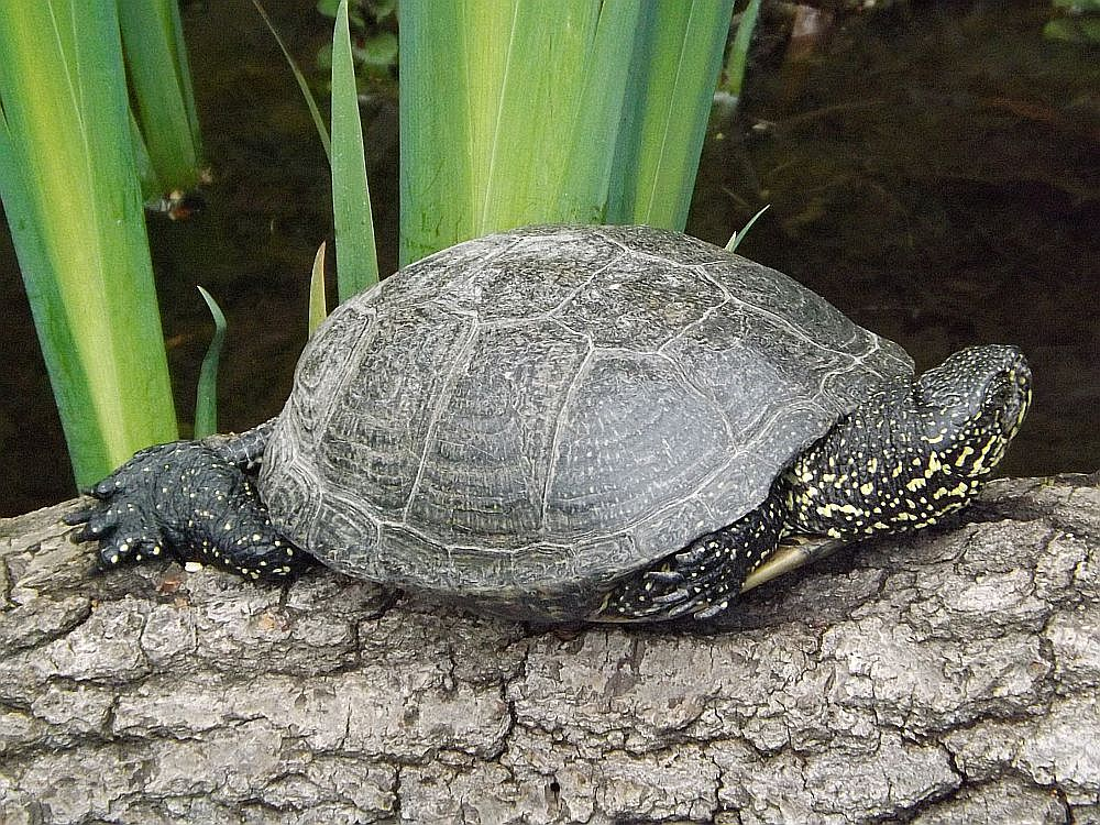 Europäische Sumpfschildkröte (Tiergarten Nürnberg)