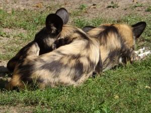 Afrikanischer Wildhund (Zoo Berlin)