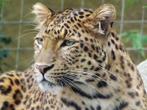 Chinesischer Leopard (Tierpark Hellabrunn)